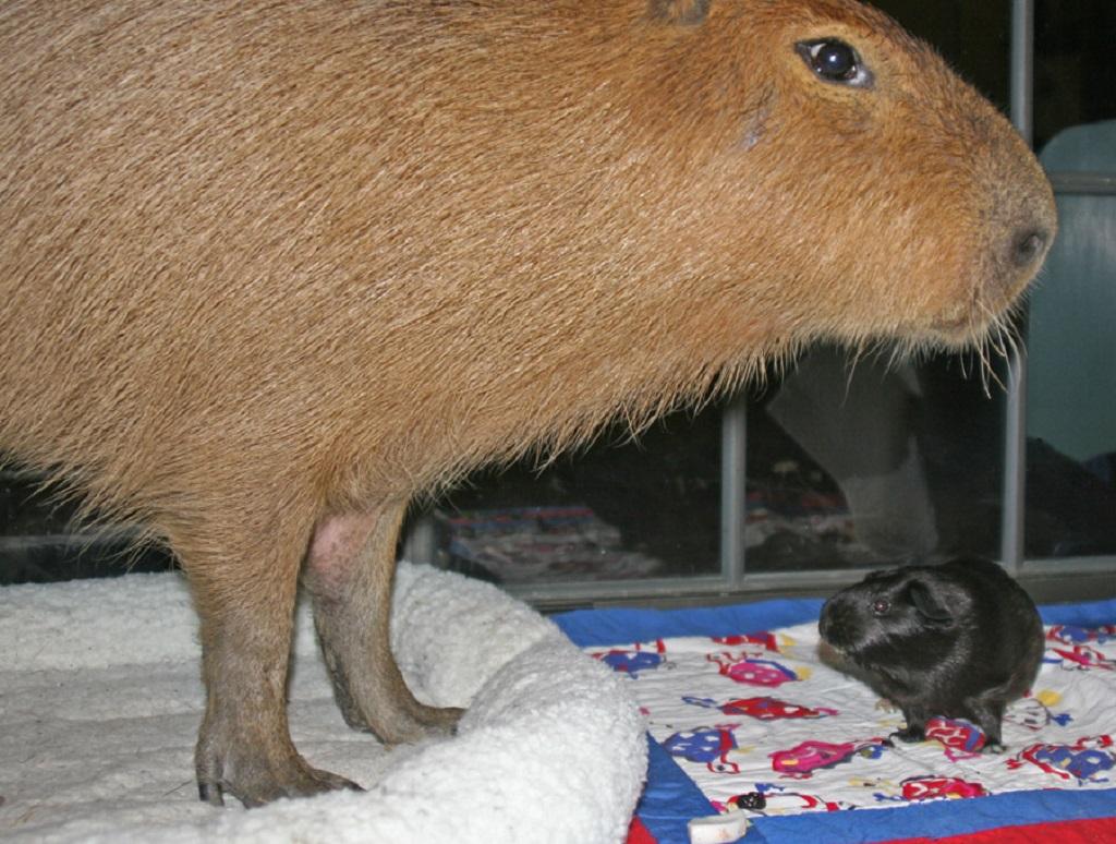Морская свинка куи —самая большая морская свинка