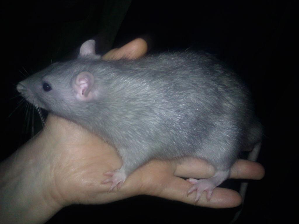 Крыса серебристо-голубого окраса