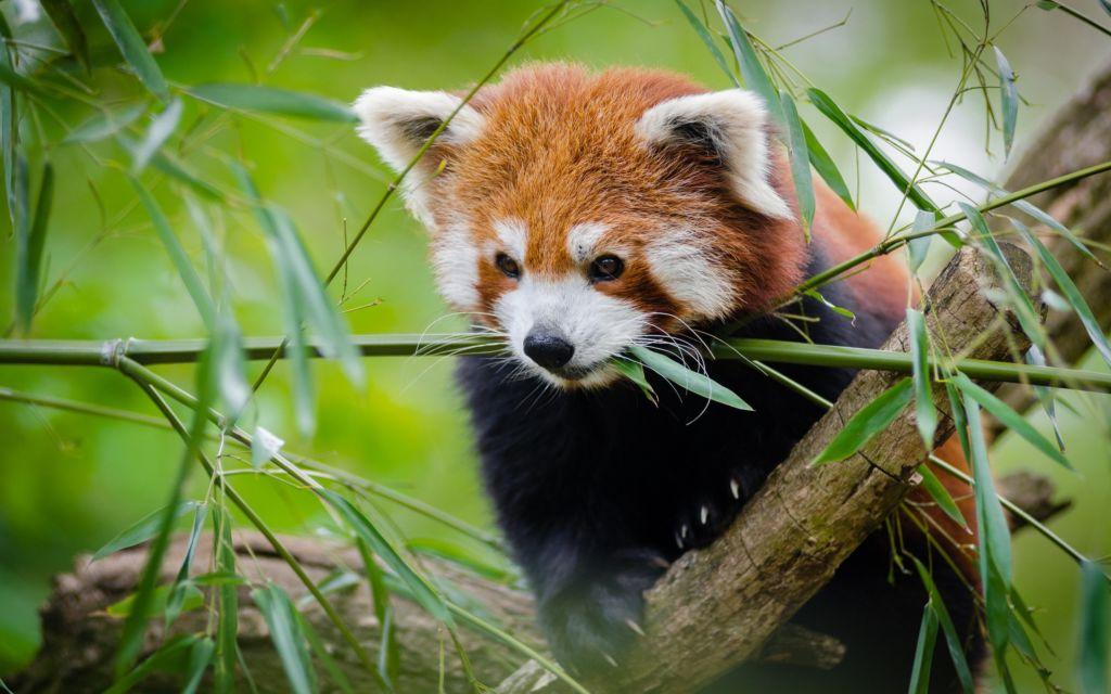 Живет малая панда в горных бамбуковых лесах