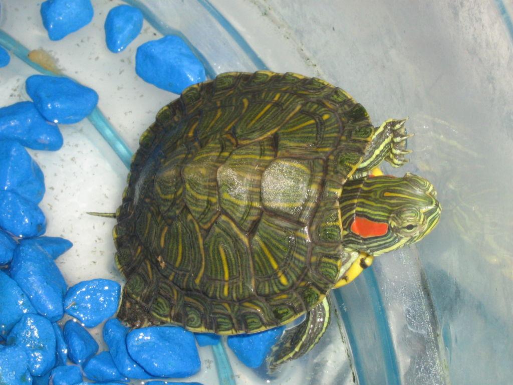 Всё о содержании морских черепах в квартире