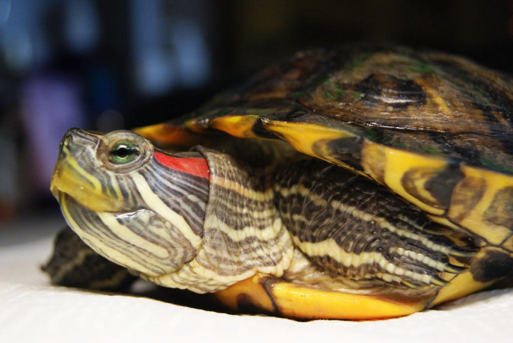 Красноухая черепаха опасна для человека тем, что она может являться носителем сальмонеллеза, глистов или грибка