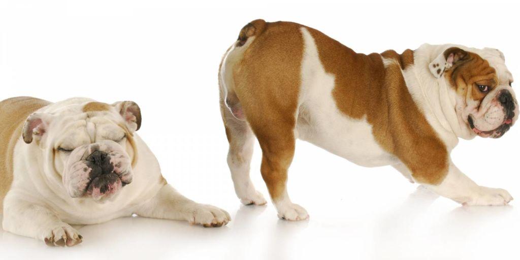 5 причин, почему у собаки урчит в животе