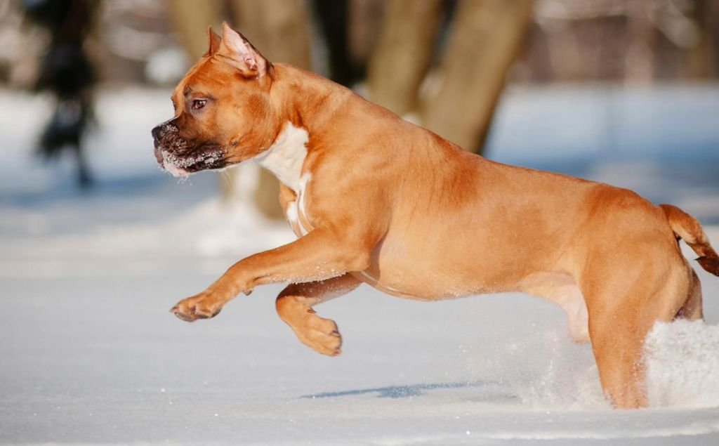 Подробное описание и характеристика породы собак стаффордширский терьер