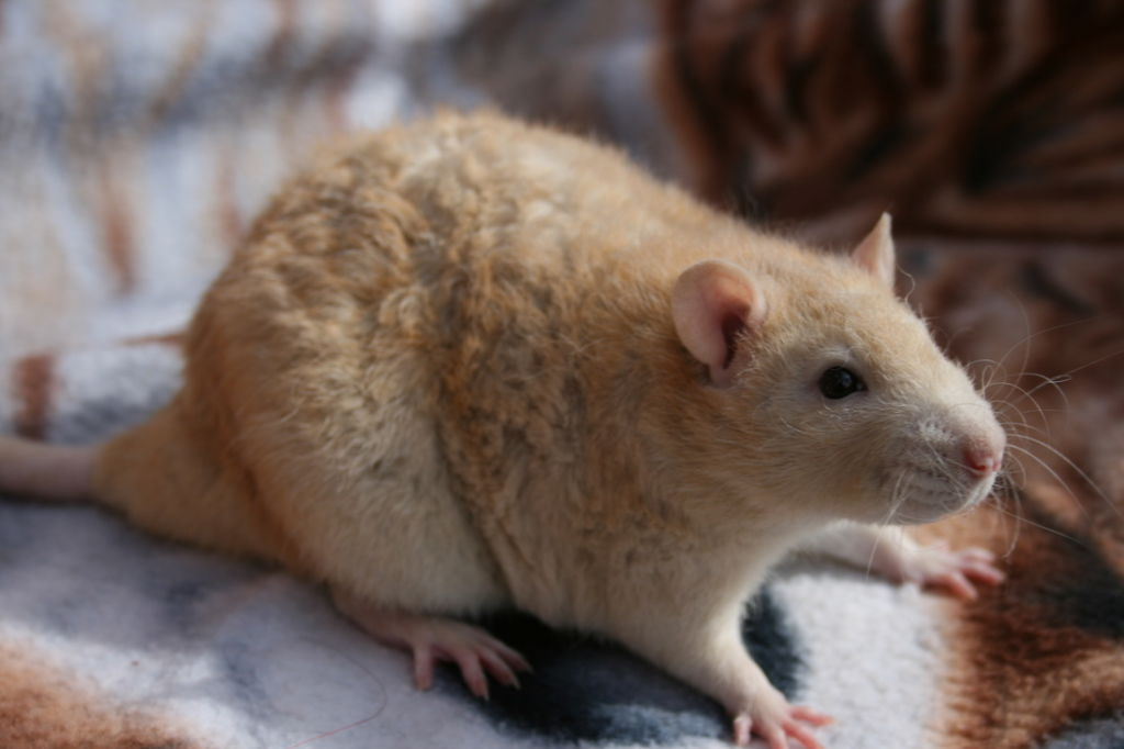 Кудрявая крыса (рекс)