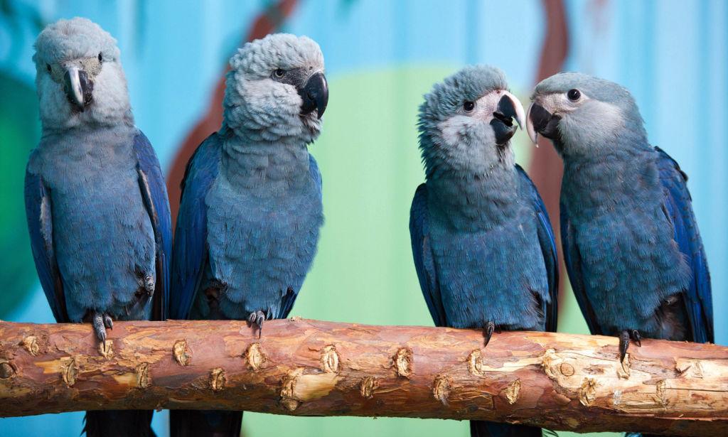 Голубой ара принадлежит к самым редким видам птиц в мире