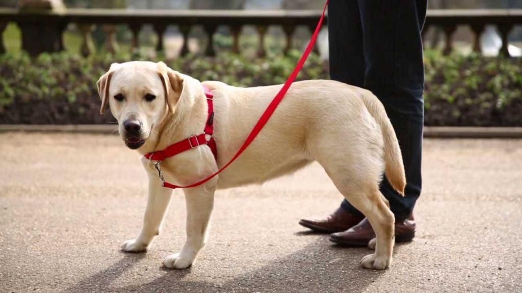 Симптомы и лечение дисплазии у собак