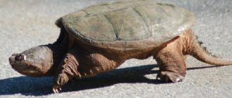 Подробное описание кусачей каймановой черепахи