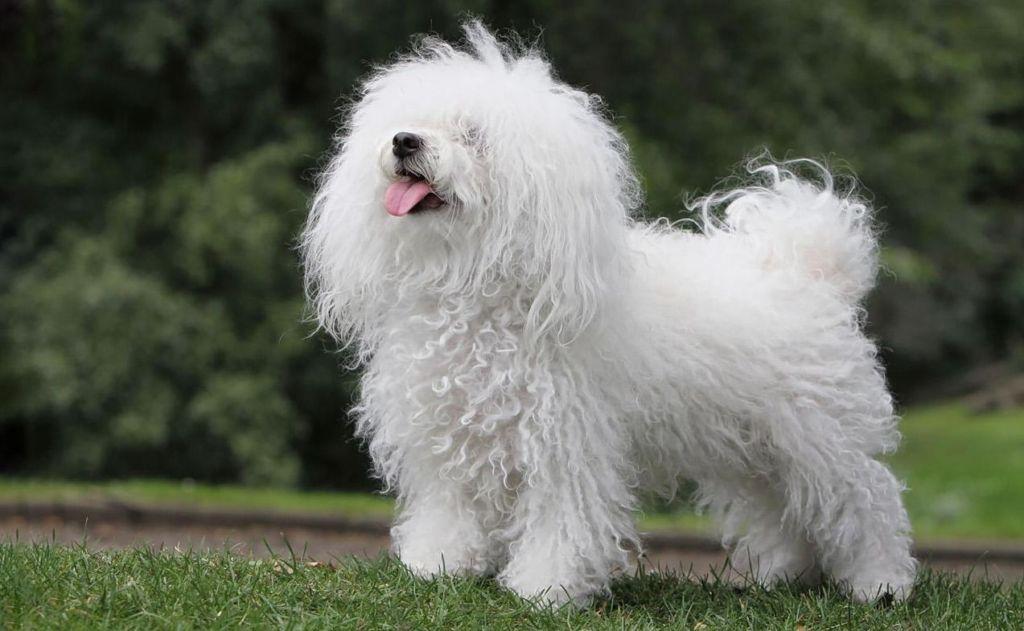 15 самых маленьких пород карманных собачек