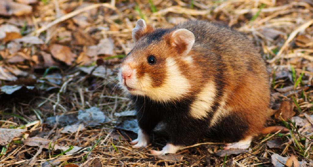 Лесные хомяки являются дикими животными и для содержания в домашних условиях они не годится