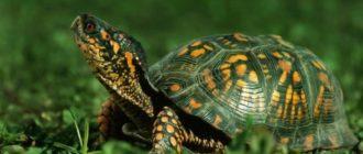 3 вида популярных домашних черепах — сухопутные, водные и мини черепашки