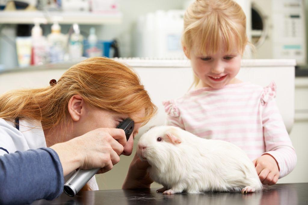 15 болезней морских свинок, их симптомы и методы лечения