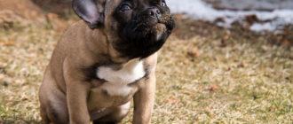 5 причины, почему собака ездит на попе и лечение