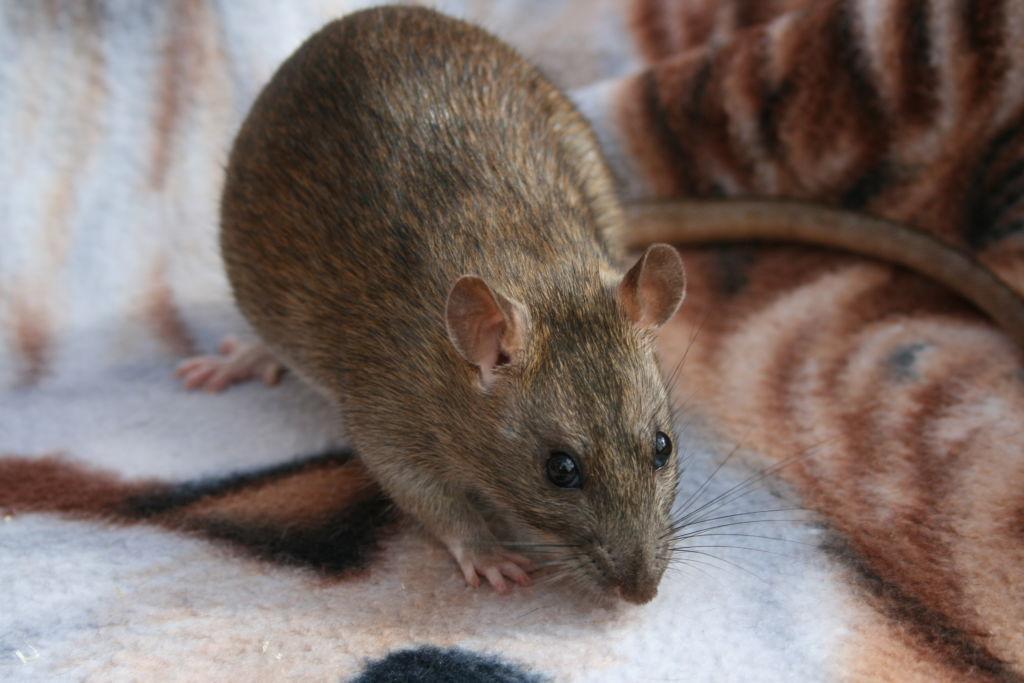 Крыса агути