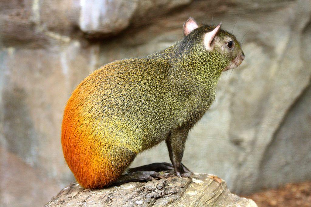 Спинка бывает черной или золотистой, а на животике в основном белая