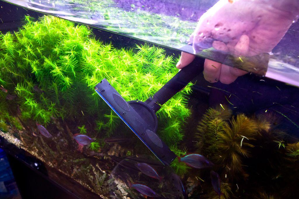 Стенки аквариума необходимо регулярно чистить