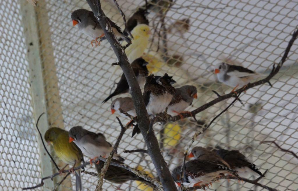 При покупке амадины обратите внимание на активность птички, а также ее упитанность