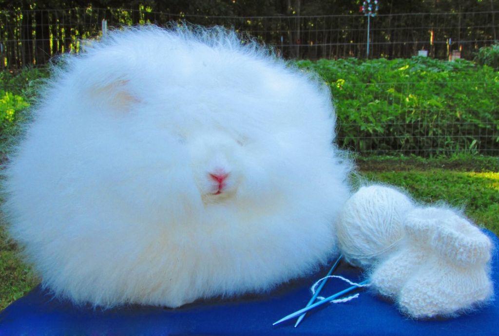 Ангорских кроликов используют для получения шерсти