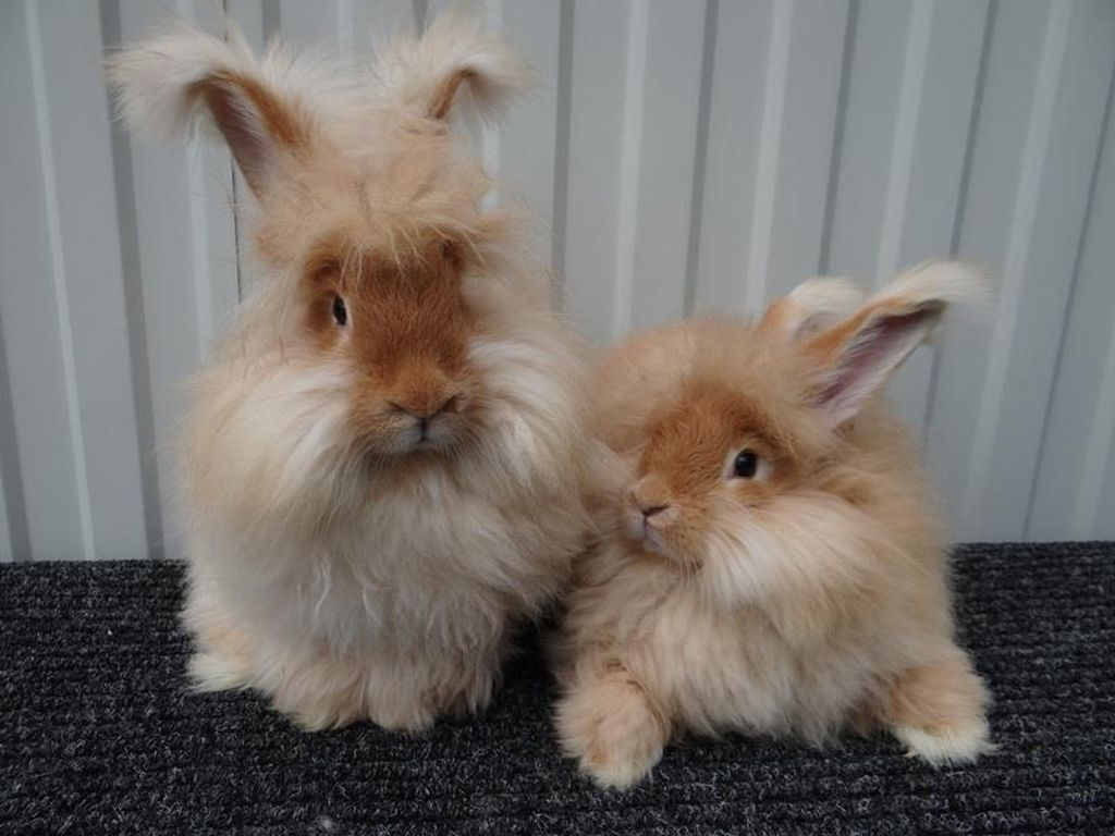 Французский ангорский кролик