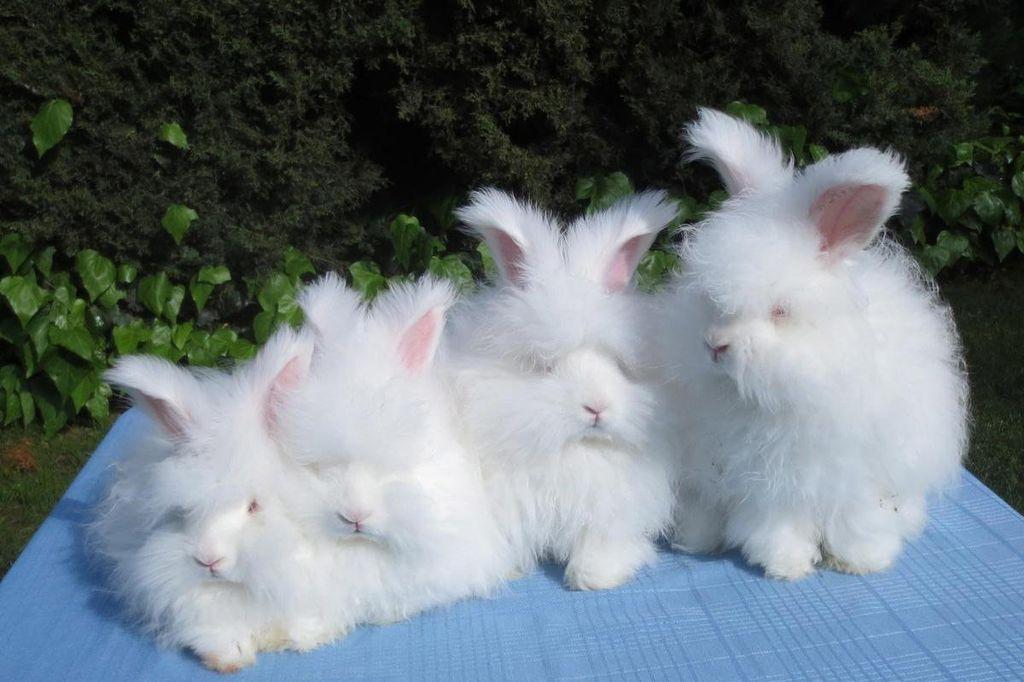 В одном выводке может быть до 8 крольчат