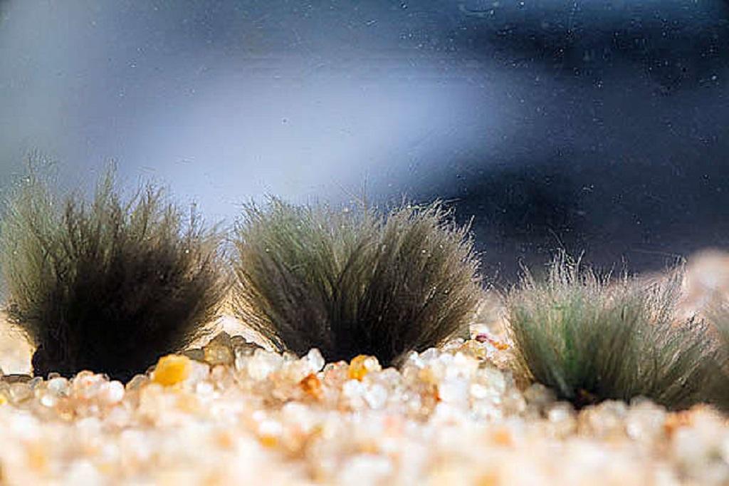 Зачастую появление водорослей в аквариуме свидетельствует о нарушении биологического баланса