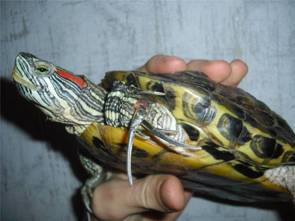 Малое количество кальция в организме черепахи сразу же сказывается на ее внешнем виде
