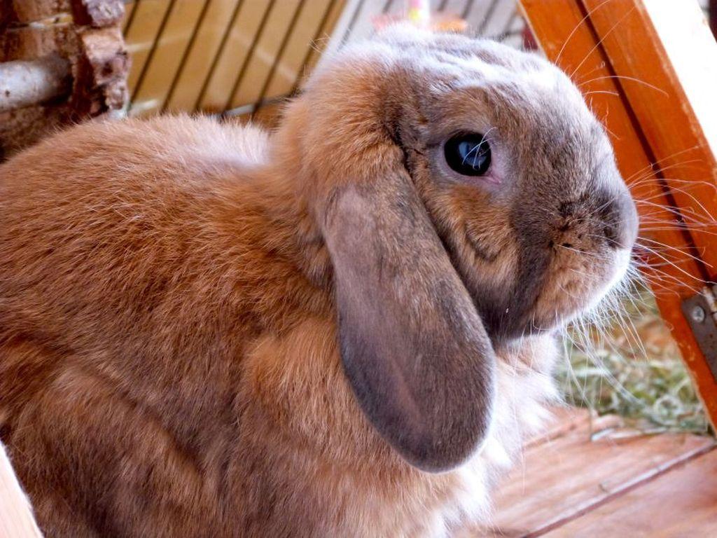 кролик баранчик фото образования пермского