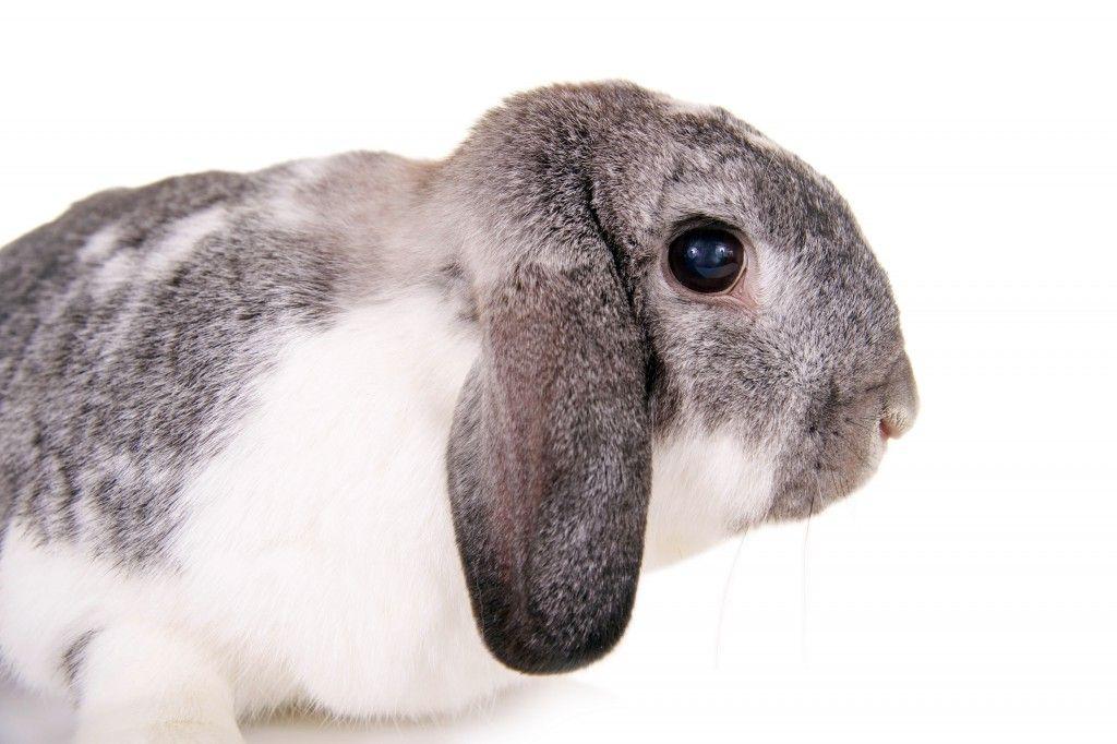 Характерной чертой вислоухого барана являются длинные свисающие уши