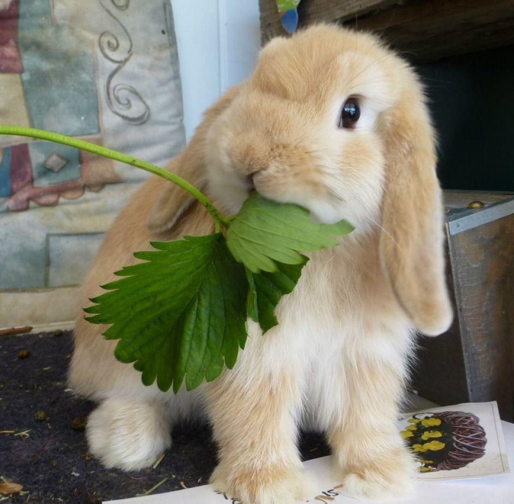 Кролик обладает отменным аппетитом