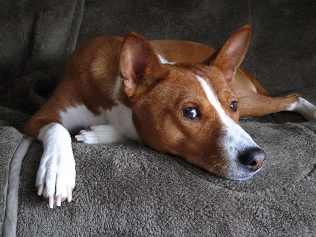 Спокойная порода собак