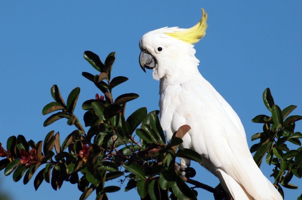 Белый попугай Какаду