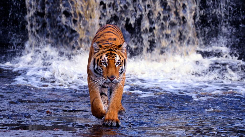 Бенгальский тигр — житель жаркого климата, поэтому ему нужен постоянный доступ к питьевой воде