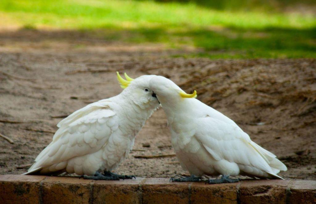 Размножение какаду дома возможно, но процесс является достаточно сложным и хлопотным