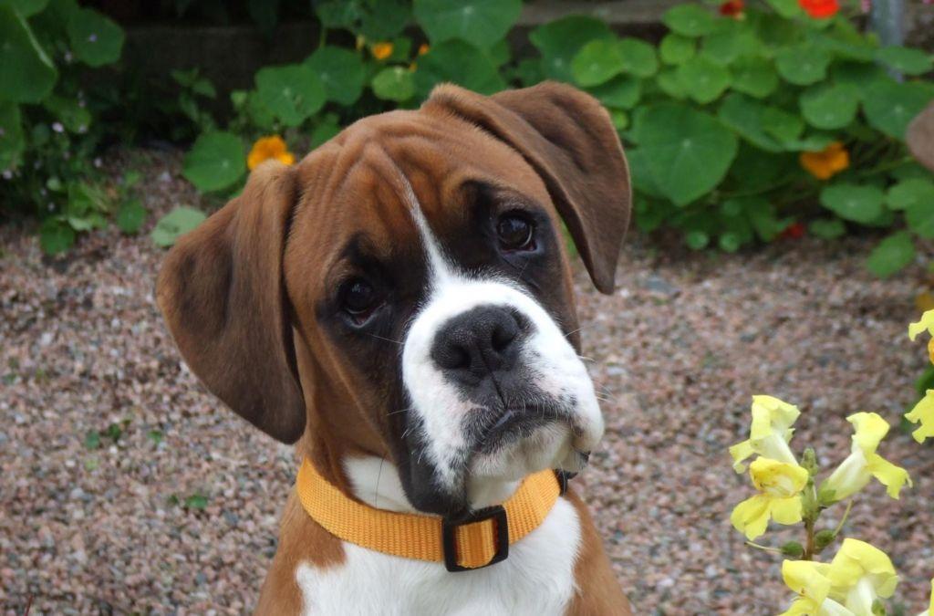 Список 6 пород собак брахицефалов