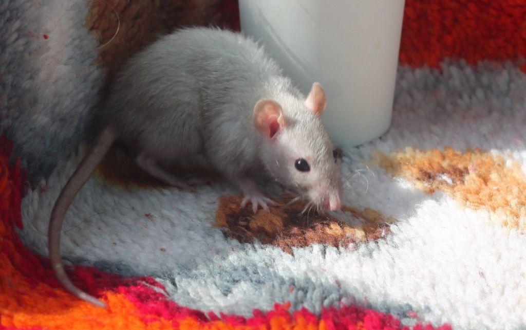 Декоративные крысы имеют свои подвиды и породы