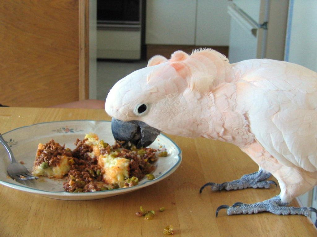 Попугай любит поесть, и в этом случае его лучше перекормить, чем недокормить