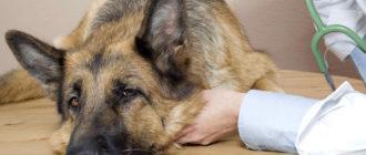 12 самых распространенных болезней собак, их признаки и лечение