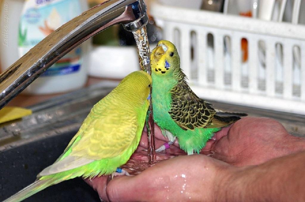 Купать волнистого попугая нужно в глубоком блюдце, в лотке или под краном в раковине