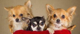 Подробное описание и характеристика породы собак чихуахуа