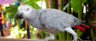 Как кричит или орет попугай и почему он это делает