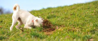 Что делать, когда собака ест землю и камни