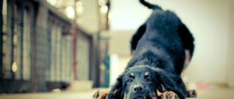 Лечение и чистка параанальных желез у собак
