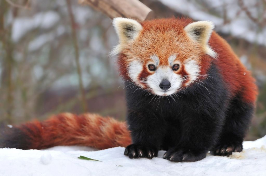 По габаритам красная панда сравнима с домашним котом