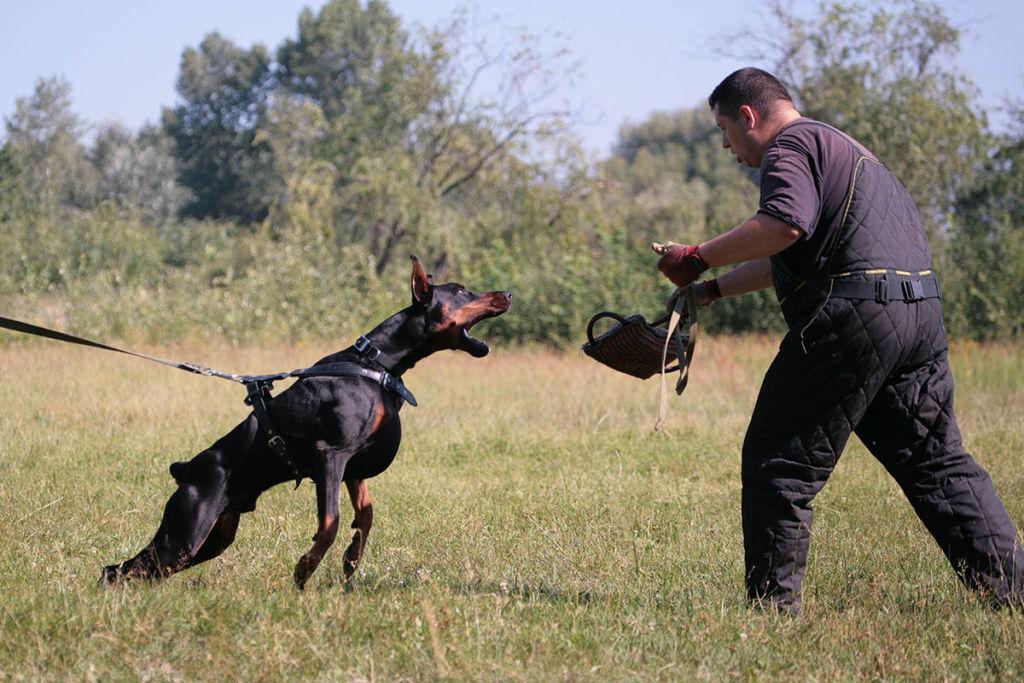 Внешний вид добермана сочетает в себе главные особенности образа идеальной собаки