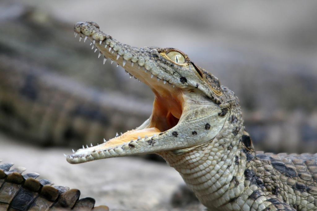 Даже домашний представитель является диким, а порой и очень агрессивным животным