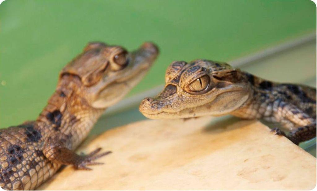 Приобрести крокодила можно у заводчиков или на специальных фермах