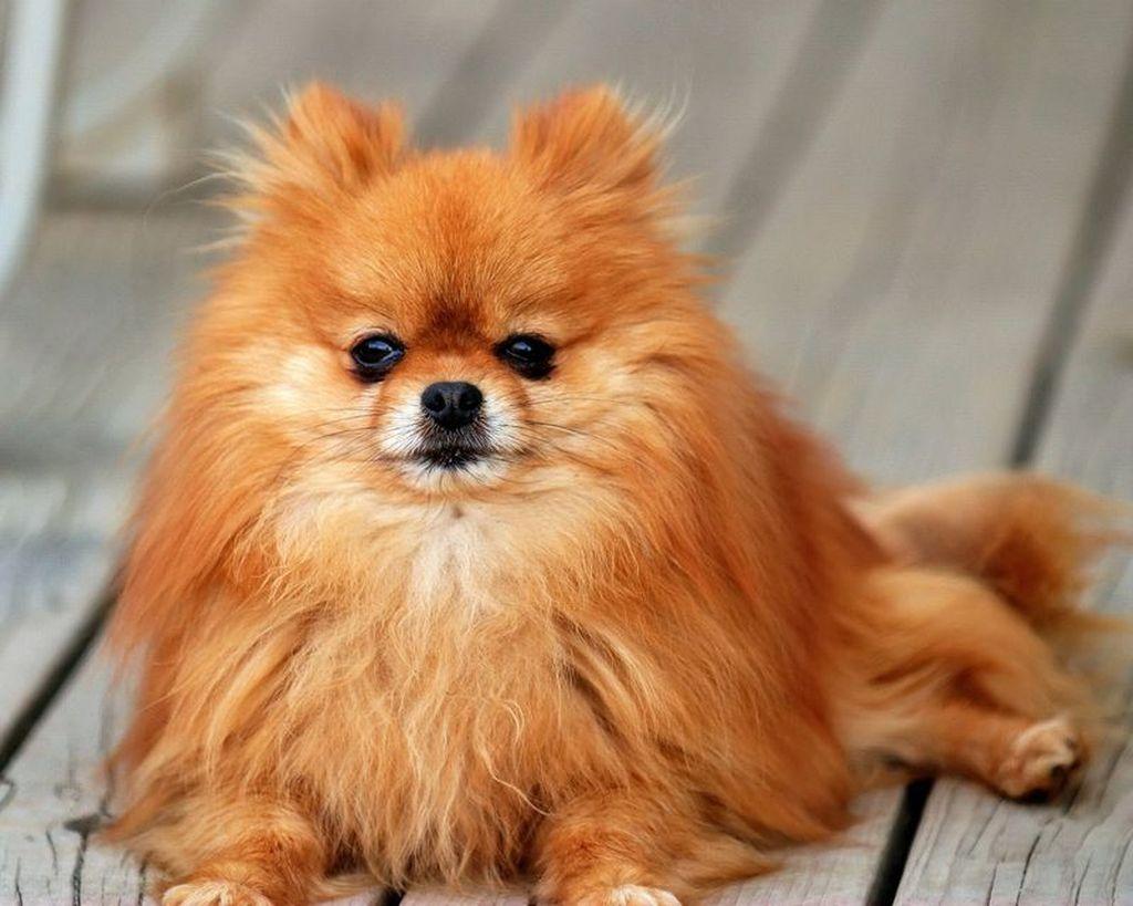 Шпицы относятся к гиперактивным собакам. Они часто проявляют настойчивость и упрямство
