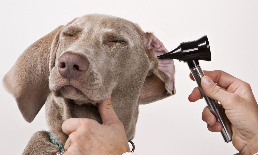 6 причин, почему у собаки ухо внутри красное, болит и хлюпает