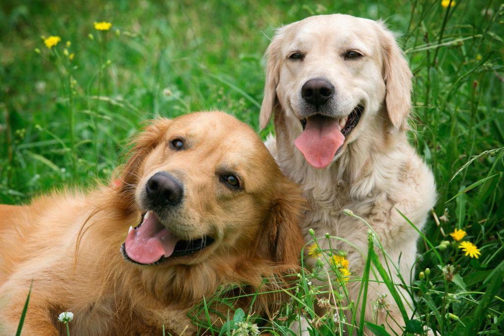 У собаки икота может быть длительной или кратковременной, это зависит от причин ее возникновения