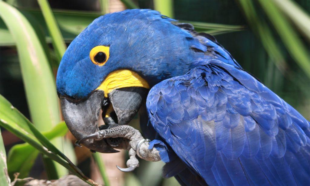 Гиацинтовый ара – самый большой вид попугаев в мире