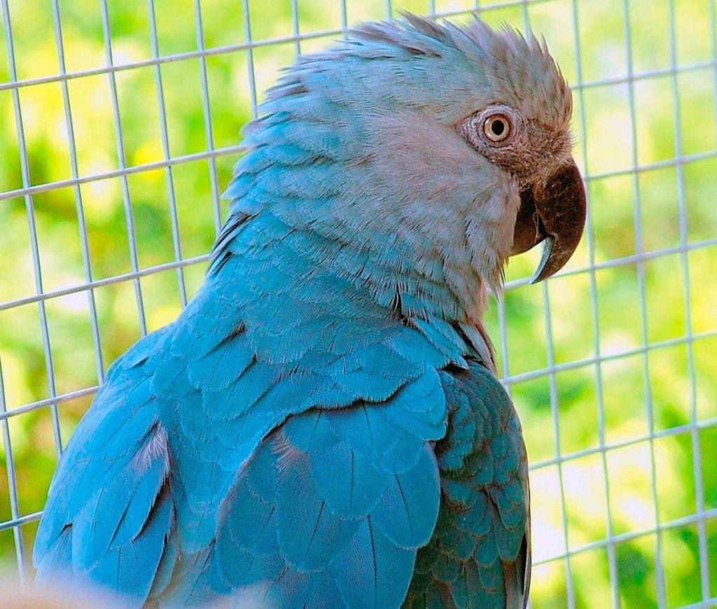 Голубой ара является единственным представителем своего рода попугаев